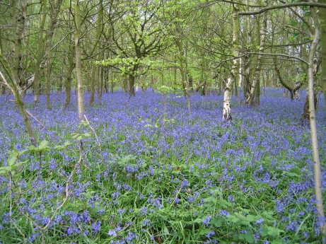 15. Outwoods Bluebells