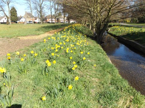 5. Daffodils - Forest Rd Green Belt
